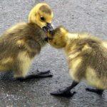 ducks-fighting1